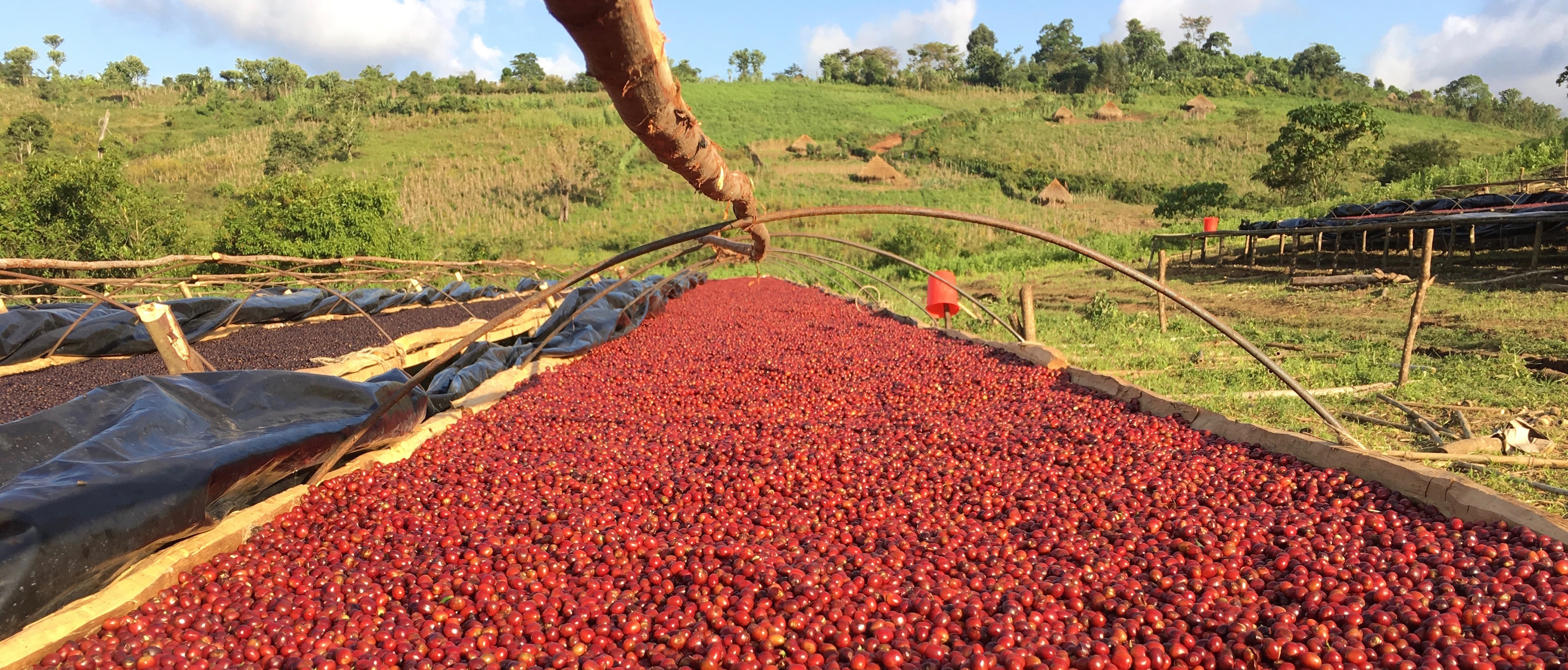fresh-red-cherry-drying-natural-process